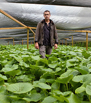 Jon Old, project manager of The Wasabi Company, with his wasabi crop