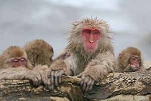 The Japanese macaques in Jigokudani Monkey Park are a popular attraction.